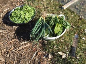 Delicious veggies harvested on March 7th!
