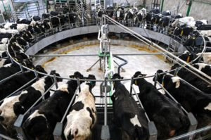 Don't get your calcium from milk--picture of a cow milking facility