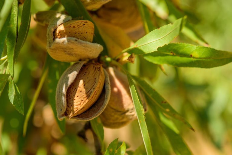 Raw Almonds in a tree