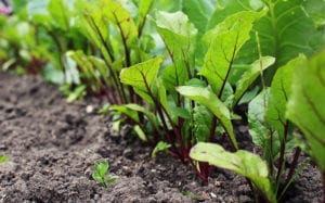 "Photograph of a row of beets growing in a garden, from ""Top 11 Greens to Use in Green Smoothies"" at Green Smoothie Girl."