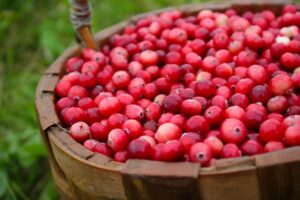 Photograph of cranberries in a wooden bucket against a grassy background, from