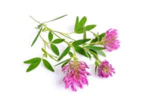"Photograph of clover plant with pink blossoms, from ""12 Delicious Edible Weeds to Forage for Green Smoothies"" at Green Smoothie Girl."