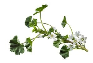 "Photograph of green mallow plant with small white flowers, from ""12 Delicious Edible Weeds to Forage for Green Smoothies"""