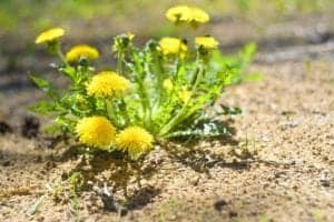 Photo of dandelions from