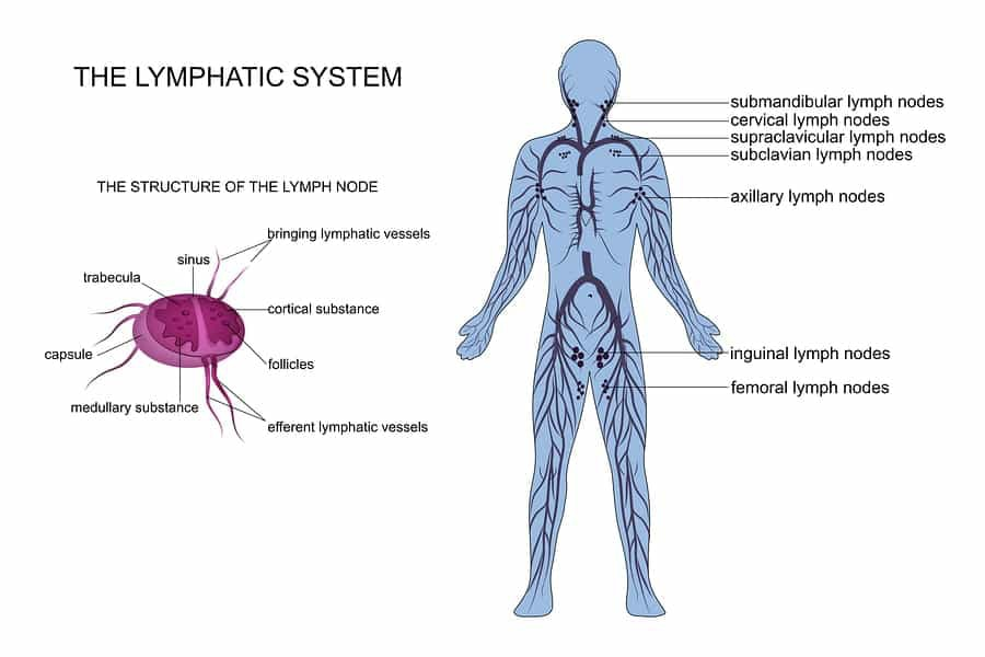 Diagram of the lymphatic system from