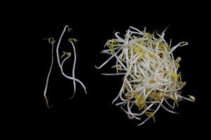 """Photo of live bean sprouts from """"Food Combining Theory"""" by Green Smoothie Girl"""