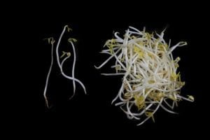 Photo of live bean sprouts from