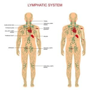 Diagram of the lymphatic system front and back from